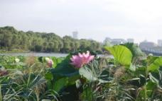 荷花 莲花 芦苇图片