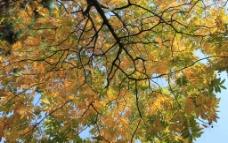 初冬树叶图片