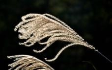 芦苇 一朵大芦苇花图片