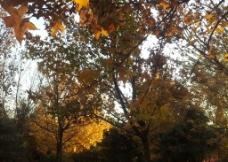 仰视枫树图片