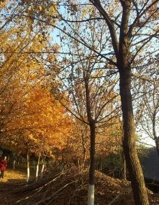 枫之林图片