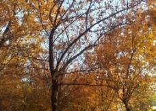 枫树之美图片