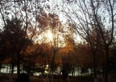 阳光与枫树图片