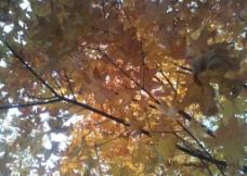 金色枫树图片