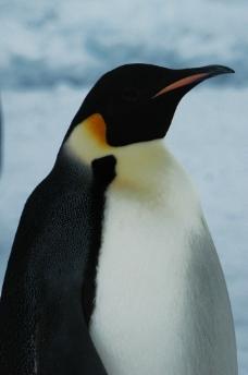 企鹅摄影图图片