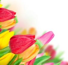 色彩缤纷郁金香图片