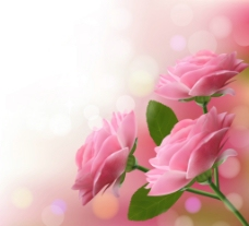 梦幻粉色玫瑰花图片