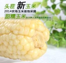 白色糯玉米图片