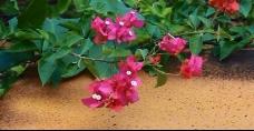 风吹动地面旁枚红色的花
