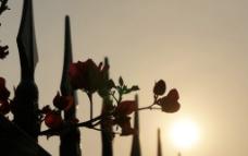 夕阳下的花图片