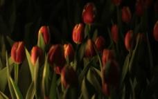 夜色下的郁金香图片