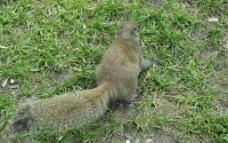 西湖边的松鼠图片