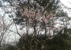 桃花树枝图片