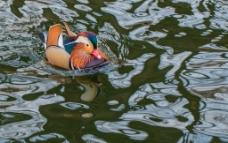 水中鸳鸯图片