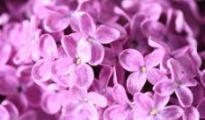 鲜花丁香图片