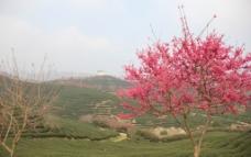 永福櫻花圖片