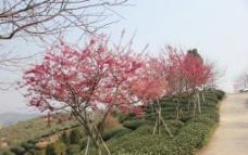 永福樱花图片