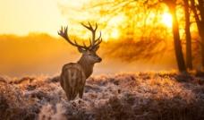 夕阳下的羚羊图片