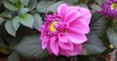 粉色牡丹花图片
