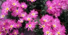 粉色菊花图片