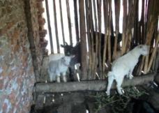 小山羊图片