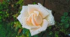 白色玫瑰图片