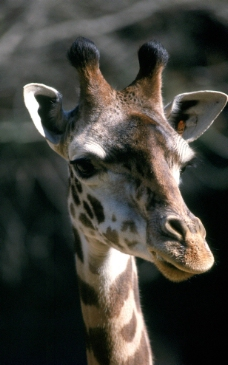 长颈鹿图片