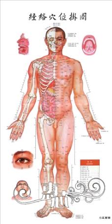 人体结构图正面图片