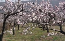 桃花满园图片