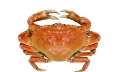 新鲜螃蟹图片