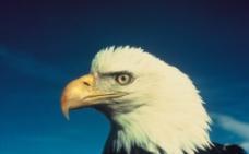 白头鹰图片