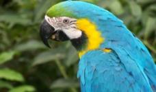 金刚鹦鹉图片