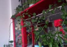 室内绿色植物 绿萝图片