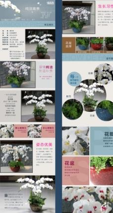 白色蝴蝶兰商品详情页图片