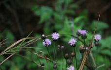 紫色野花图片