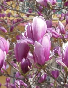 紫玉兰图片
