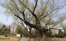 古柳树图片
