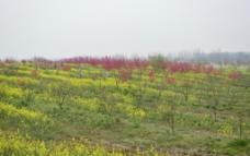 满园桃花开图片