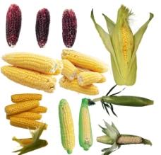 玉米素材图片